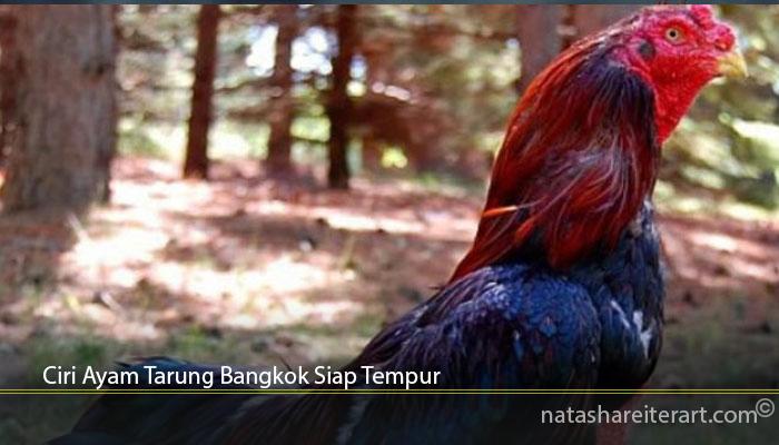 Ciri Ayam Tarung Bangkok Siap Tempur
