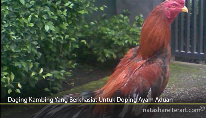 Daging Kambing Yang Berkhasiat Untuk Doping Ayam Aduan