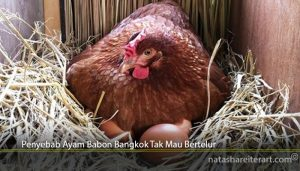 Penyebab Ayam Babon Bangkok Tak Mau Bertelur