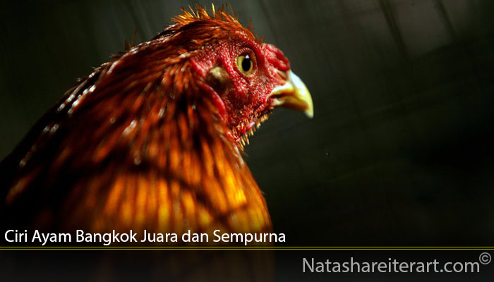 Ciri Ayam Bangkok Juara dan Sempurna