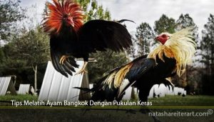 Tips Melatih Ayam Bangkok Dengan Pukulan Keras