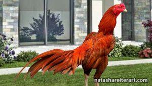 Ciri-Dari-Ayam-Aduan-Yang-Akan-Memenangkan-Pertarungan